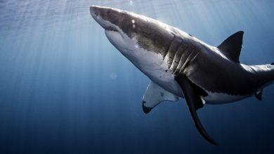 Photo of Žraloci i letos v srpnu připlují na Discovery Channel